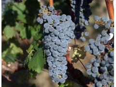 葡萄酒高级初级国产福利视频在线哪家好